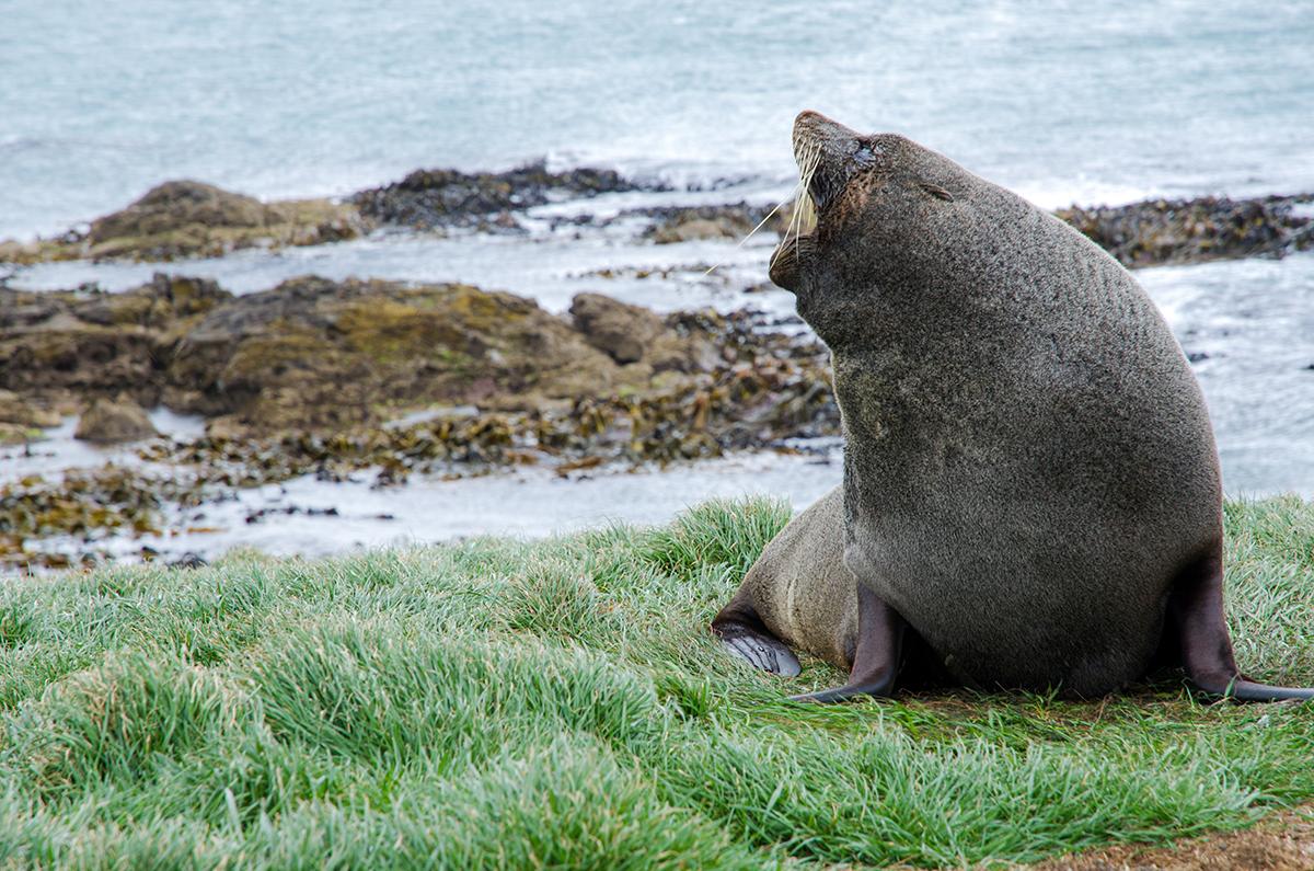 紐西蘭南島 Oamaru Katiki Point 海獅