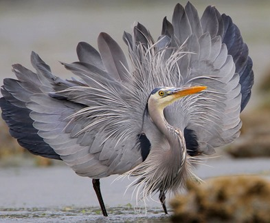 Great_Blue_Heron_showing_off_for_the_camera_3396-001