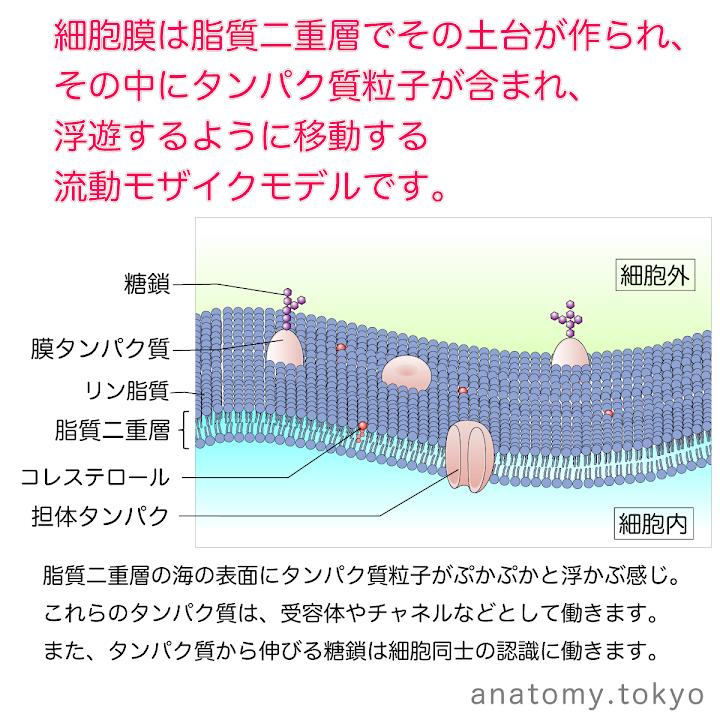 t111-07-流動モザイクモデル.png