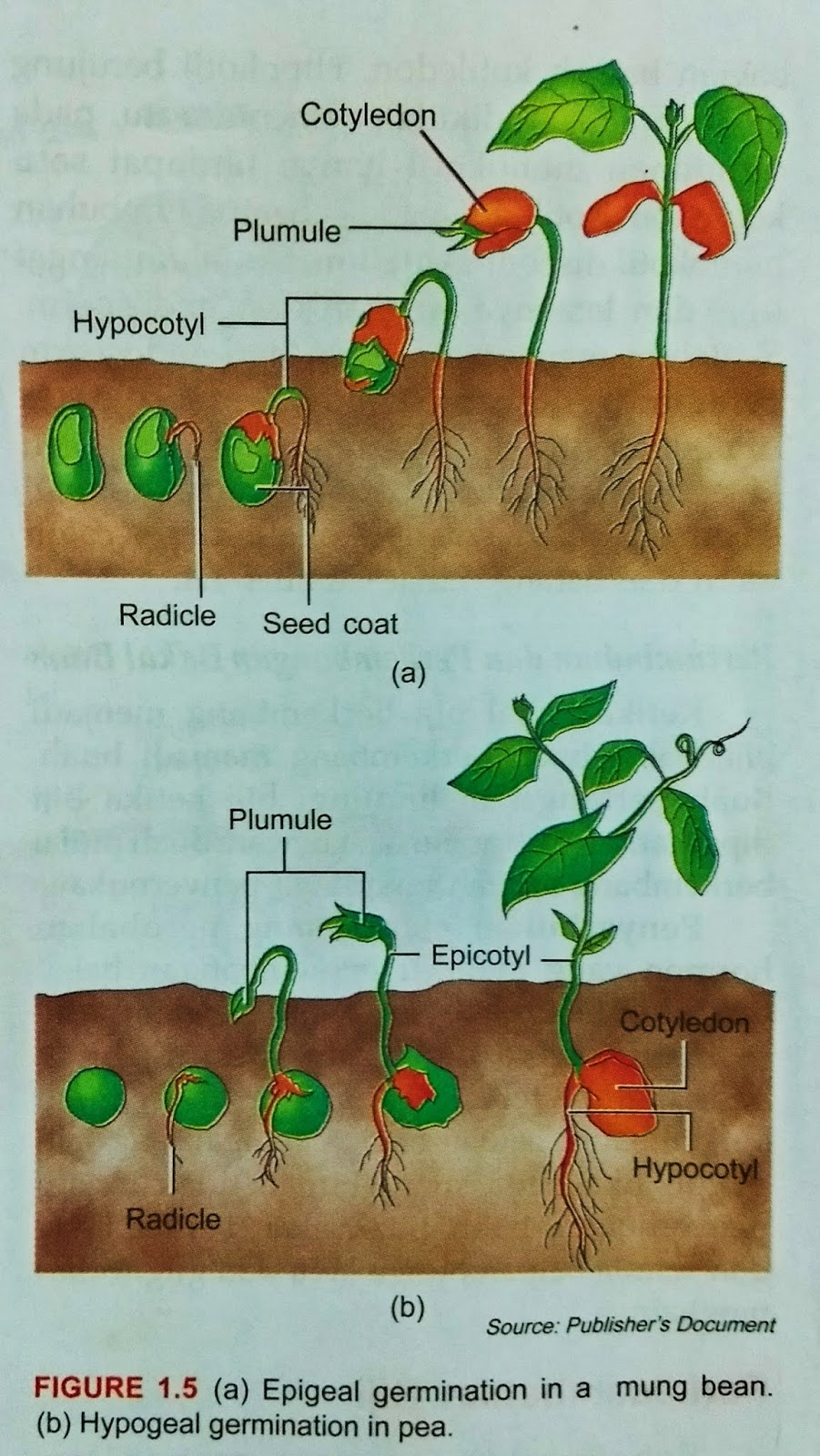 Epigeal Germination in a mung bean And Hypogeal Germination In Pea ~ New  Science Biology