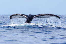 Humpback whale getting ready to dive.