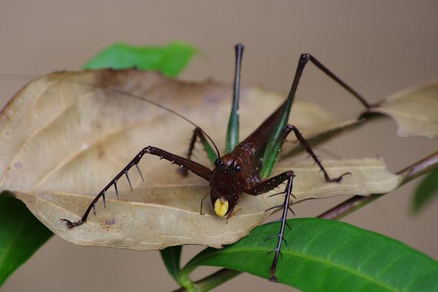 Tettigonidae. Patawa (Montagne de Kaw), 26 octobre 2012. Photo : J.-M. Gayman
