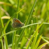 Coenonympha pamphilus LINNAEUS, 1758, mâle. Les Hautes-Lisières (Rouvres, 28), 23 mai 2010. Photo : J.-M. Gayman