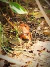 An angry Garden Lizard