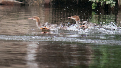 Merganser chicks. Love the way they hydroplane when they get toing. Never realized how far their feet got ahead of them, but off course the adults run across the water to take off so it makes sense.