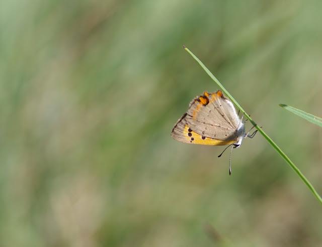 Lacaena phlaeas. Les Hautes-Courennes, Saint-Martin-de-Castillon (Vaucluse), 15 juin 2015. Photo : J.-M. Gayman