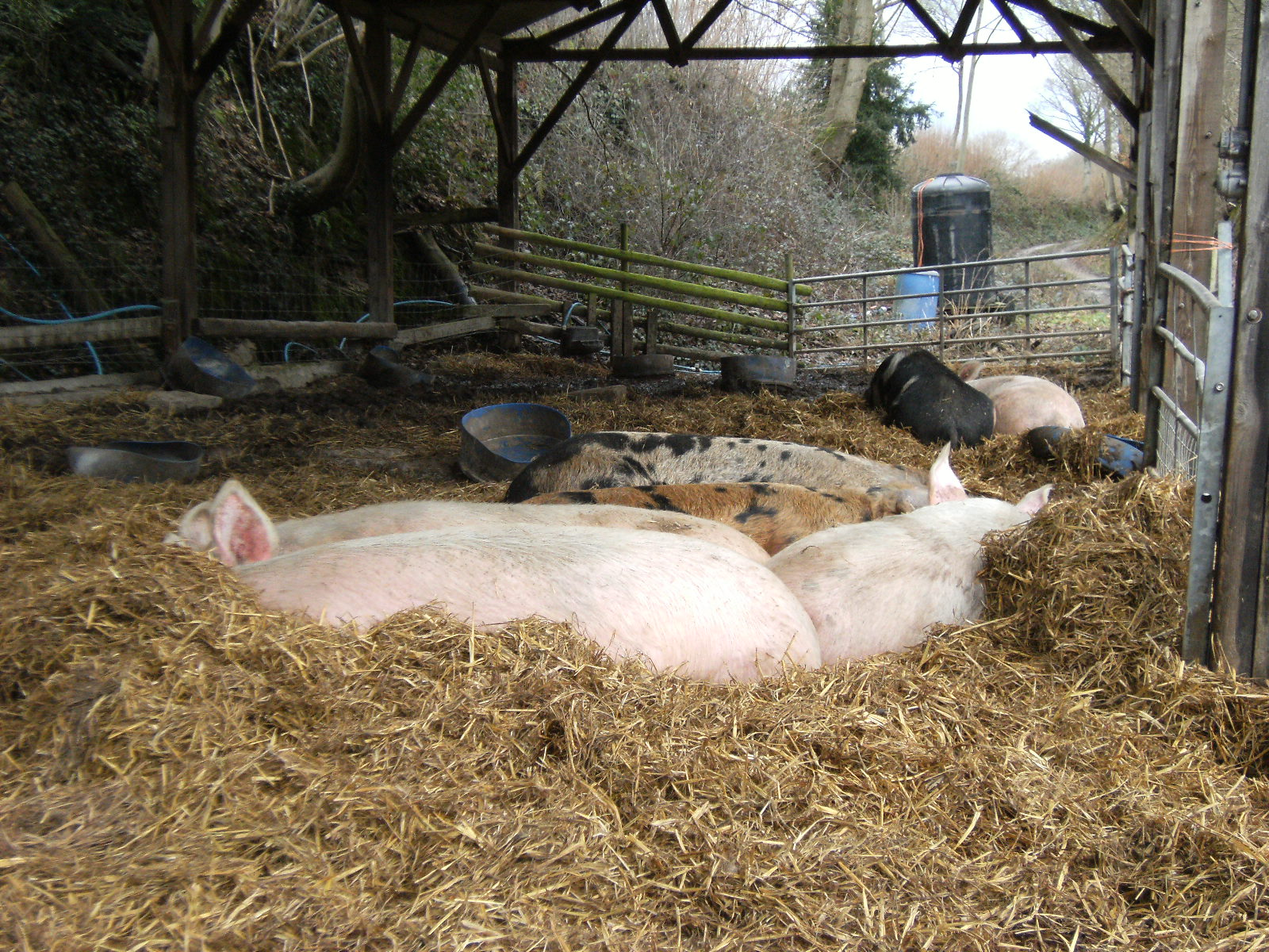 1101110077 Contented pigs at Tablehurst Farm