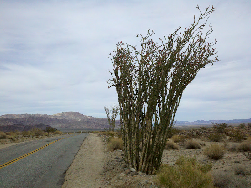 Joshua Tree National Park • Ocotillo