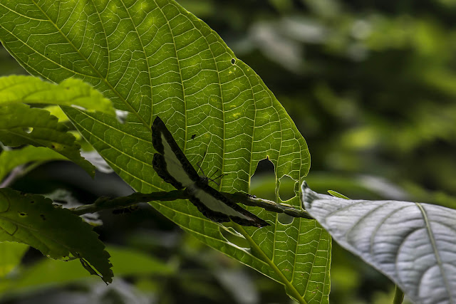 Nymphidium sp. El Morro, 620 m (Casanare, Colombie), 6 novembre 2015. Photo : B. Lalanne-Cassou