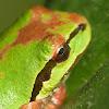 N pacific treefrog