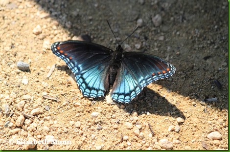 red spotted purple2