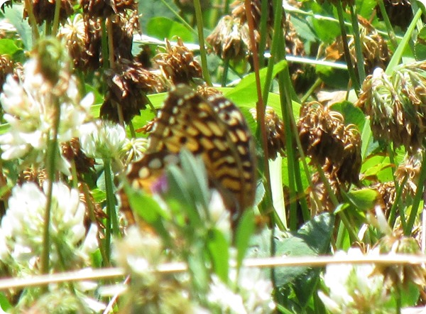 IMG_7509 Great Spangled Fritillary Speyeria cybele Butterfly (1)