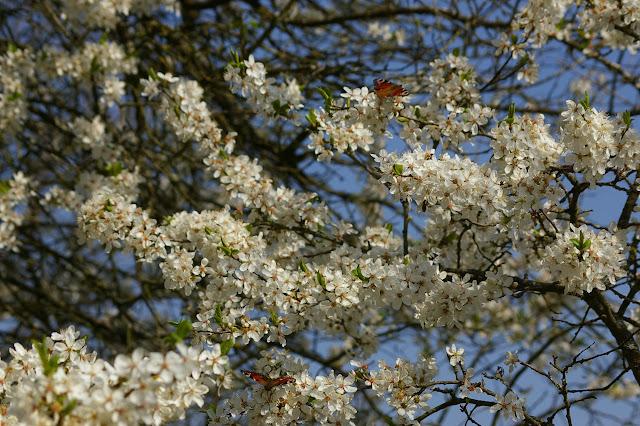 Deux Inachis io L., 1758. Hautes-Lisières (28), 23 mars 2011. Photo : J.-M. Gayman