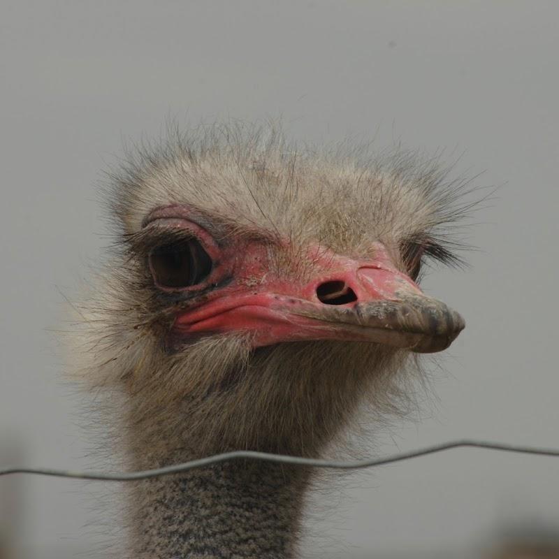 Ostrich_03.jpg