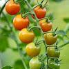 4 Manfaat Buah Tomat Untuk Kesehatan, Salah Satunya Menyehatkan Pencernaan