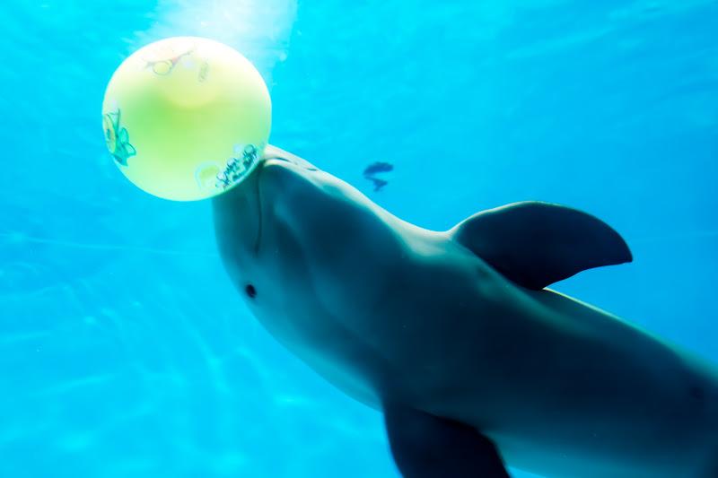 Miyajima Public Aquarium finless porpoise4