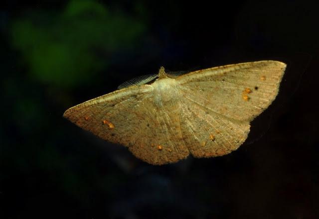 Geometridae : Ennominae : Caberini : Casbia farinalis ROSENSTOCK, 1885 (?). Umina Beach (NSW, Australie), 8 mai 2011. Photo : Barbara Kedzierski