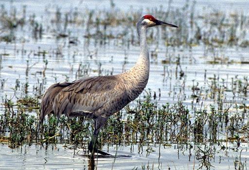 Sandhill crane, wading. The International Crane Foundation