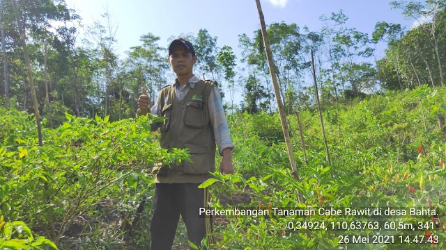 Dua Kali Untung, Petani Desa Bahta Lakukan Tumpang Sari Karet dengan Cabe