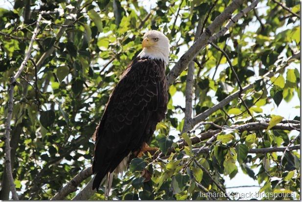 eagle31