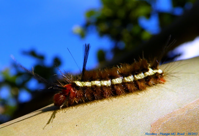 Chenille de Lymantridae. Pitangui (Minas Gerais, Brésil), 4 juin 2011. Photo : Nicodemos Rosa