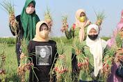 Bersama Ning Ema Petani di Ploso Mulai Panen Bawang Merah Dengan Sistem Tanam Biji
