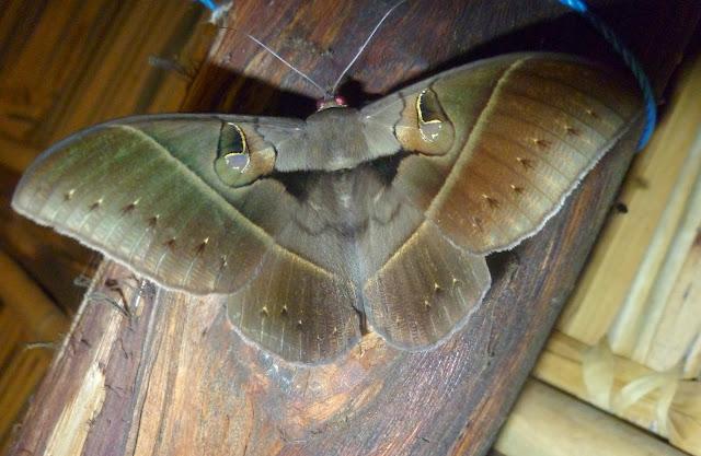 Erebinae : Cyligramma joa MABILLE, 1891. Mananara Lodge, Anjozorobe (Madagascar), 5 janvier 2014. Photo : J. Marquet