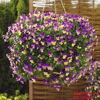 Hoa bướm Viola rũ