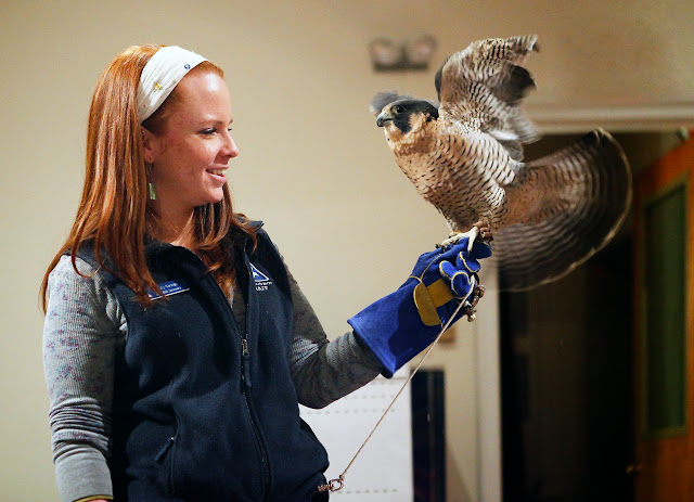 Emily George, a teacher naturalist at the Blue Hills Trailside Museum, introduces a wounded Peregrine Falcon at the Birds of Prey program at the Marion Natural History Museum Friday night. Photo credit: Michael Smith.