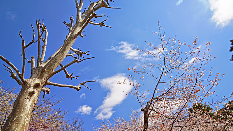 千鳥ヶ淵 桜 写真20