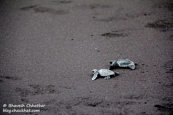 2 baby Olive Ridley sea turtles running to catch the waves of the vast Arabian Sea