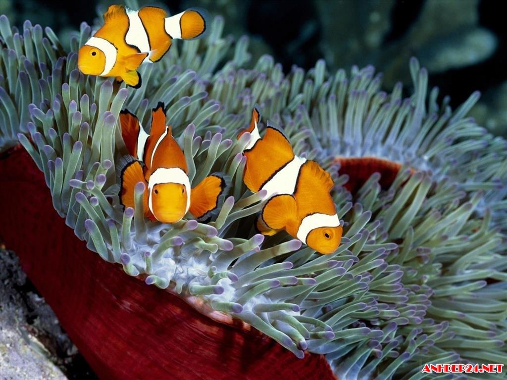 Tuyển chọn hình nền cá cảnh đẹp rực rỡ sống động nhất cho máy tính