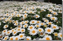 margaritas flores (8)