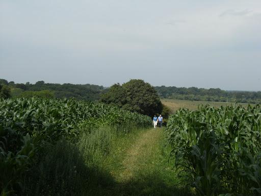 DSCF9327 Through maize fields