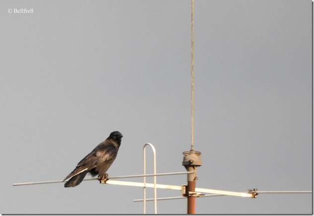 Krähe Antenne