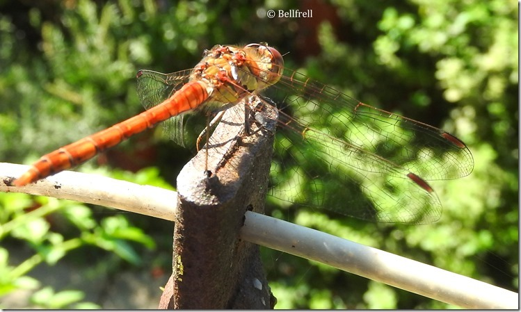 Libelle 1