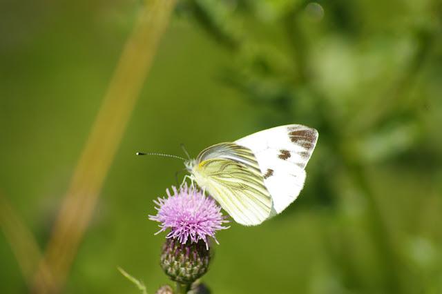 Pieris napi napi LINNAEUS, 1758, femelle, seconde génération, en forêt. Les Hautes-Lisières, 14 juillet 2009. Photo : J.-M. Gayman
