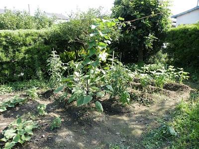 2010年7月8日の家庭菜園