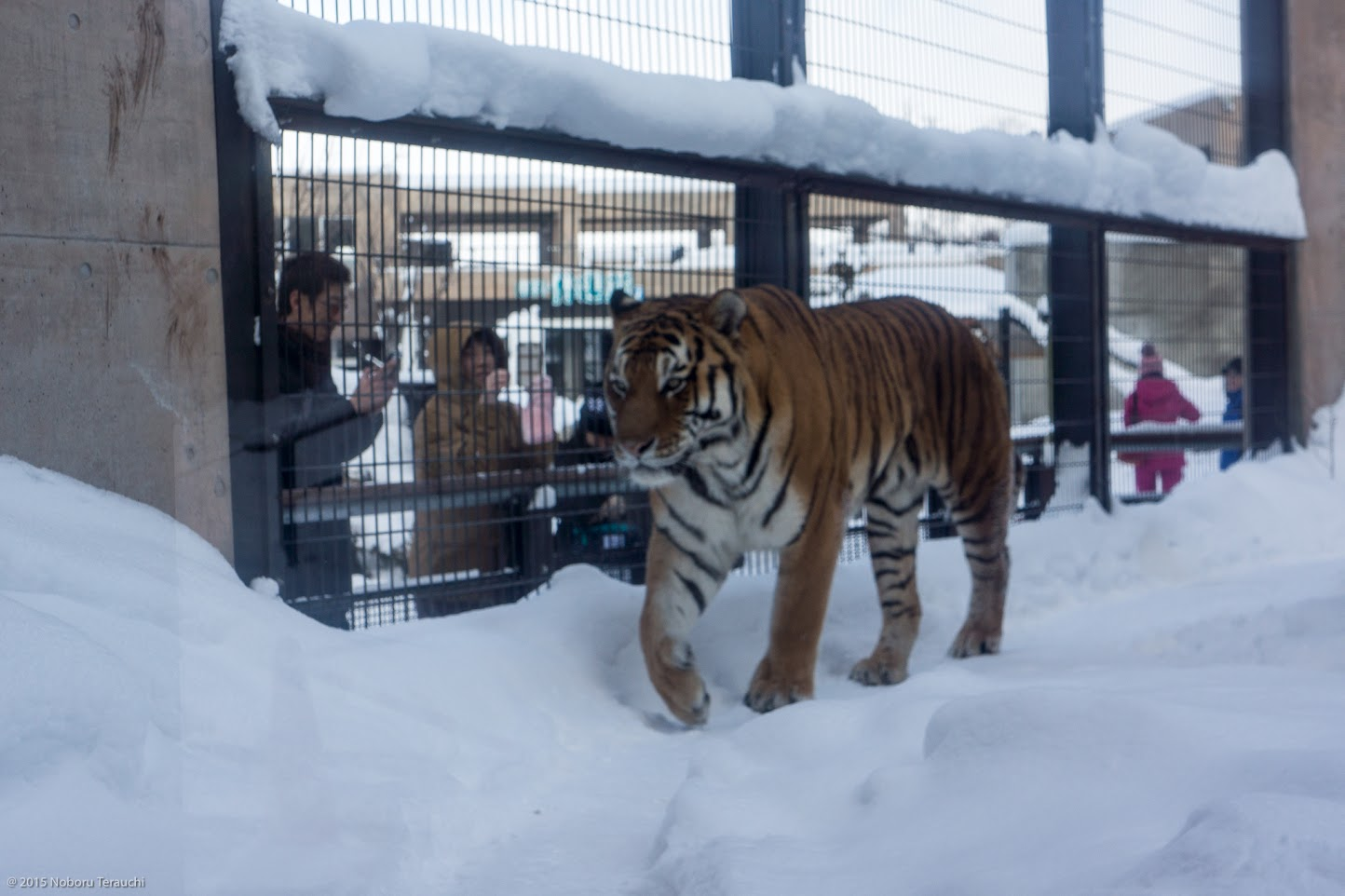 雪の上を歩きまわるアムールトラ