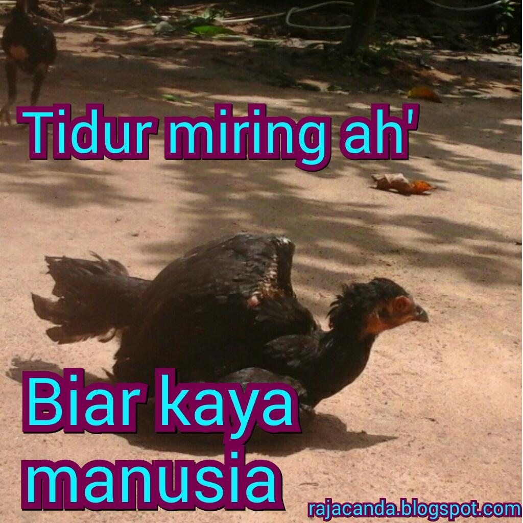 RAJACANDA Gambar Lucu Editan Ayam Gokil Kocak Ngakak Banget