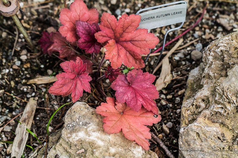 Heuchera Autumn Leaves Heuchera-autumn-leave-130610-97rm