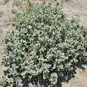 California Saltbush