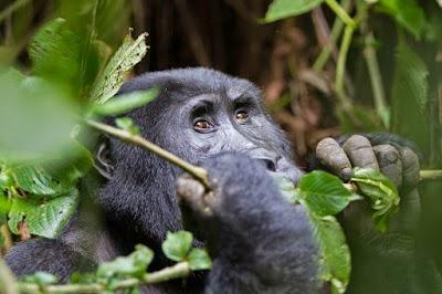 Gorilla 2.jpg