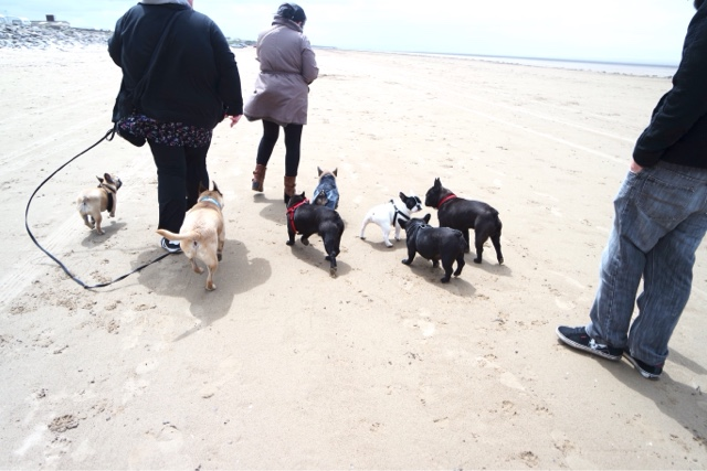 French Bulldog fun on the beach