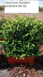 viburnum lucidum jardinera