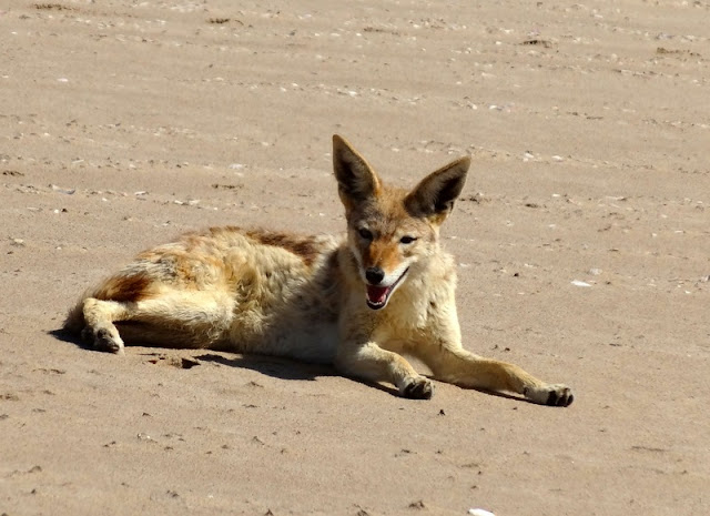 A jackal restong on Pelican Point