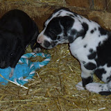 Gretta & Cobalt Blues 3/24/12 litter - SAM_3440.JPG