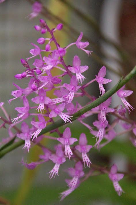 Stenoglottis longifolia IMG_9571