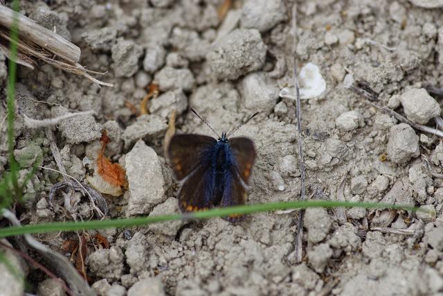 Plebejus idas (L., 1761), femelle. Les Hautes-Courennes (542 m), Saint-Martin-de-Castillon (Vaucluse), 7 mai 2014. Photo : J.-M. Gayman