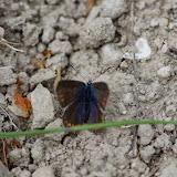 Polyommatus icarus (Rottemburg, 1775), ♀. Les Hautes-Courennes (542 m), Saint-Martin-de-Castillon (Vaucluse), 7 mai 2014. Photo : J.-M. Gayman